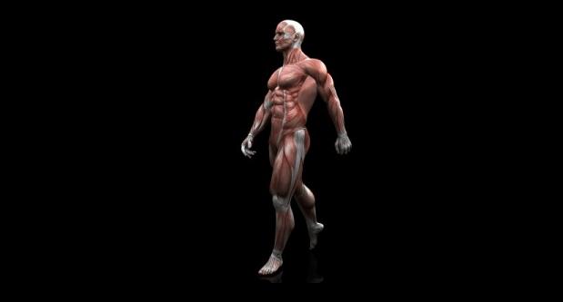 Os tipos de músculos