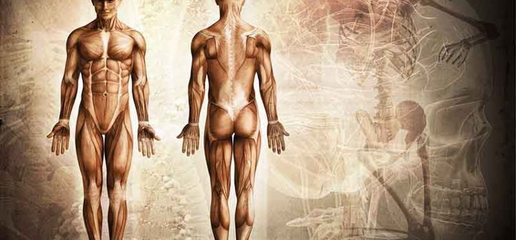 Os tipos de músculos e as fibras musculares