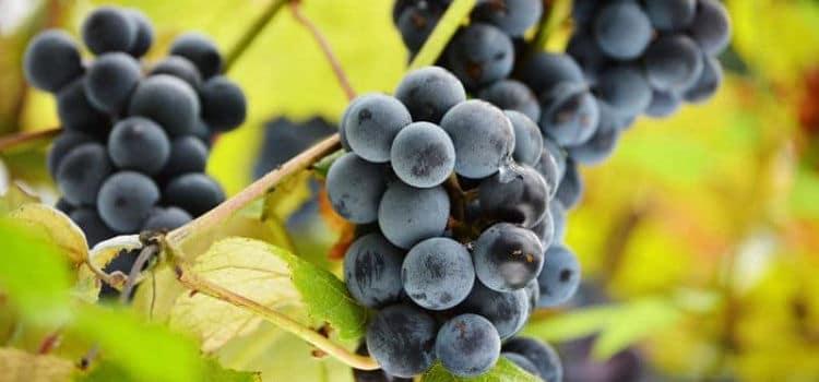 Conheça os benefícios do resveratrol